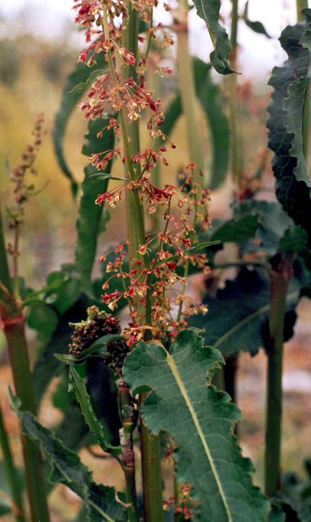 Щавель курчавый - Rumex crispus L | Дикорастущие полезные растения ...