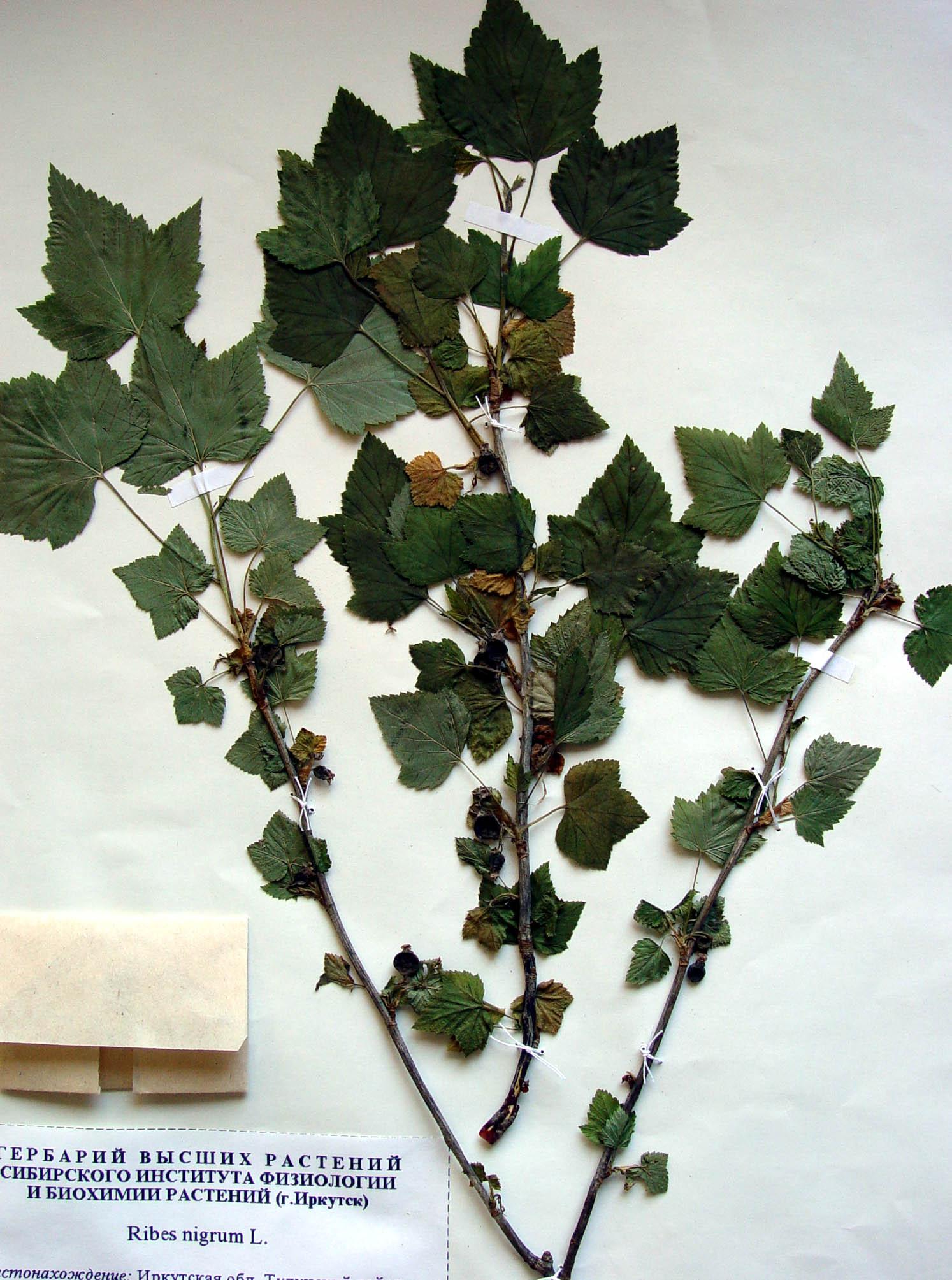 Как сделать лист черной смородины