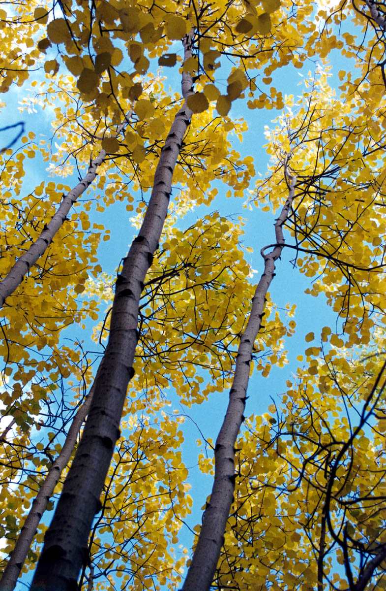 показать дерево осина фото крупно