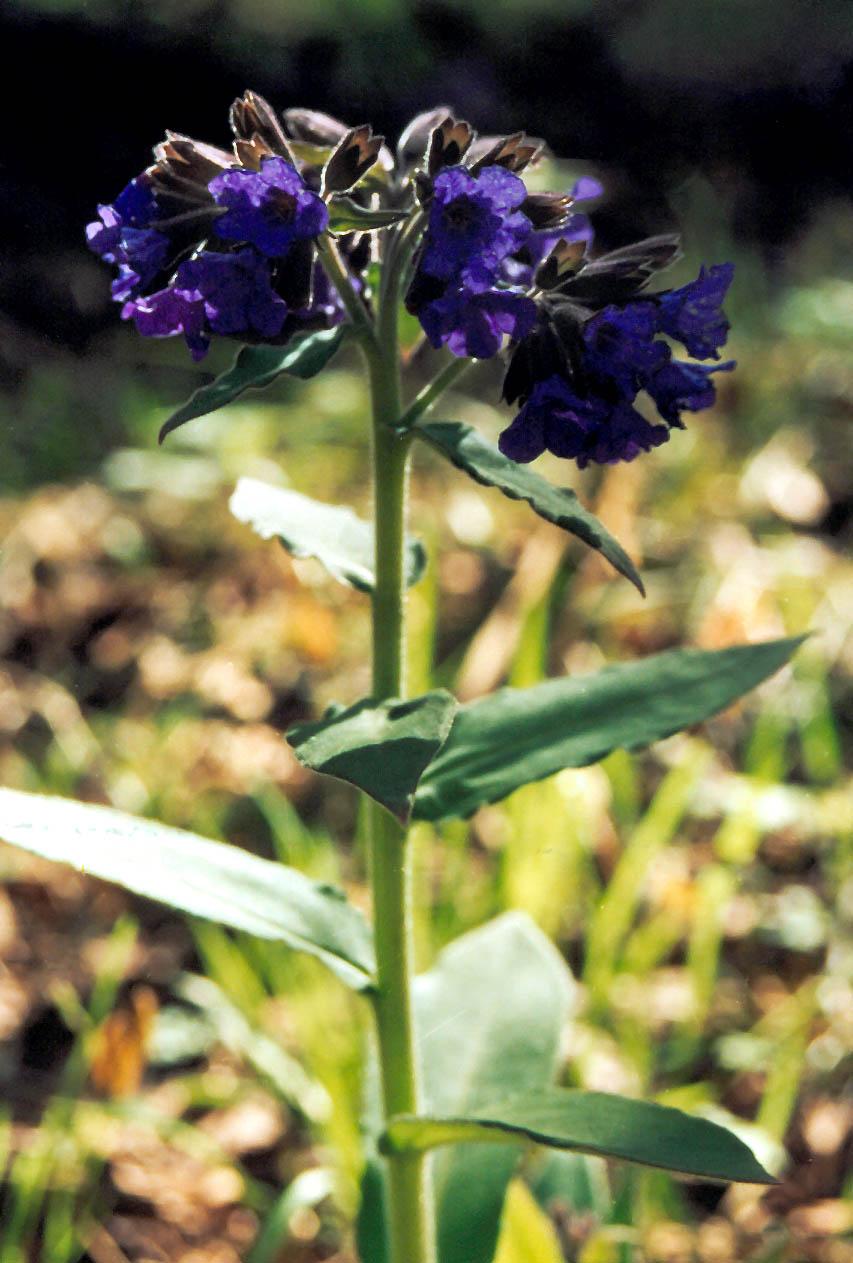 Медуница фото растения и описание где сажать