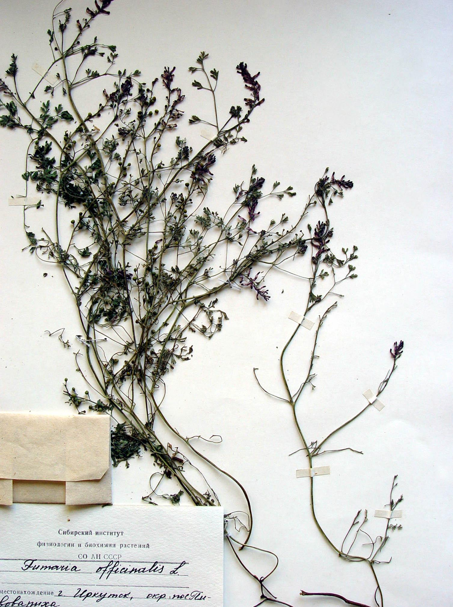 Дымянка аптечная дым трава
