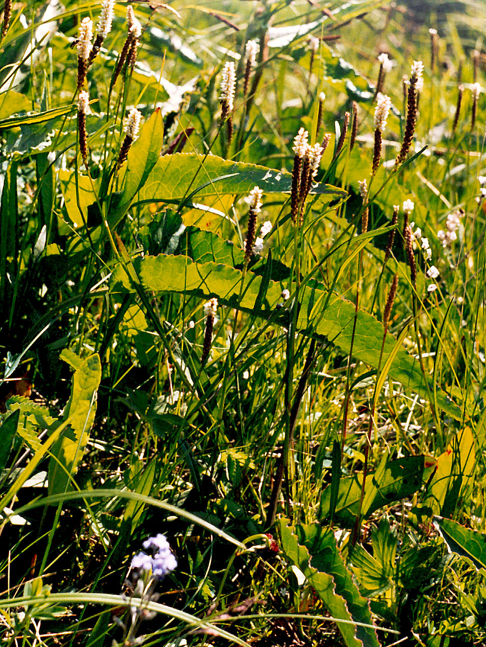 Цветет с июня по август.  Заготовляют корневища и траву.