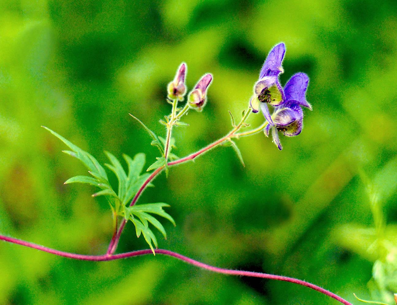 Цветок борец фото и где он растет