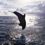 Фото черного дельфина
